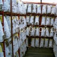 Инкубация грибных блоков на стеллажах.