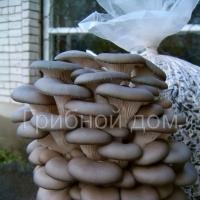 Вешенка. Штамм АК (Китай). Устойчив к пониженной влажности. Средняя урожайность: 150-180 гр. свежих грибов с 1 кг влажного субстрата.